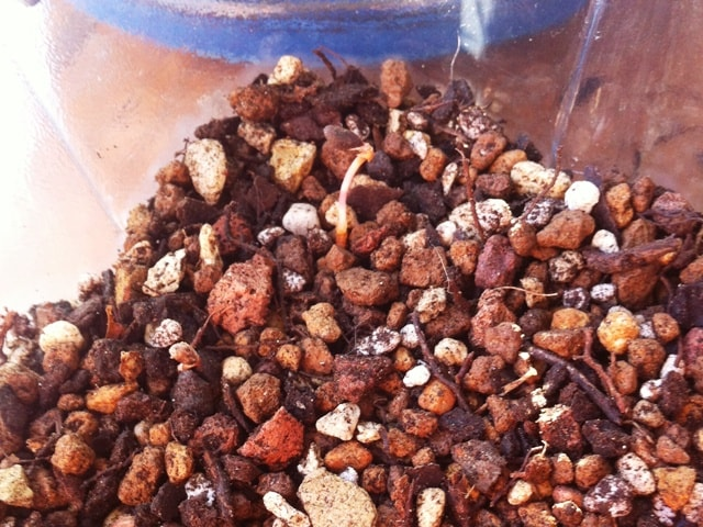 Semillas de pino