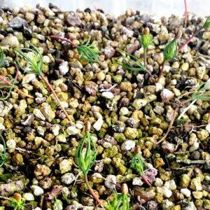 germinar Semillas de pino