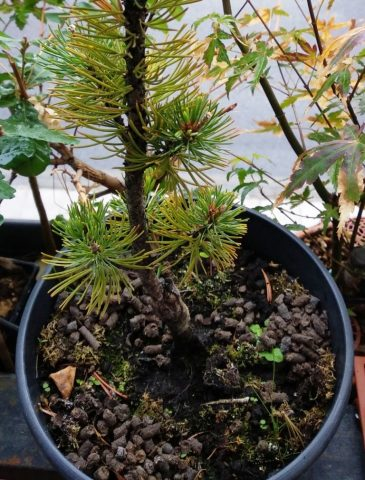 Pinus Parviflora abonado con pellet