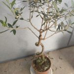 olivo vivero bonsai