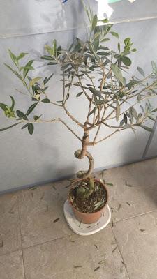 olivo vivero bonsai