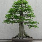 Taxodium Dystichum