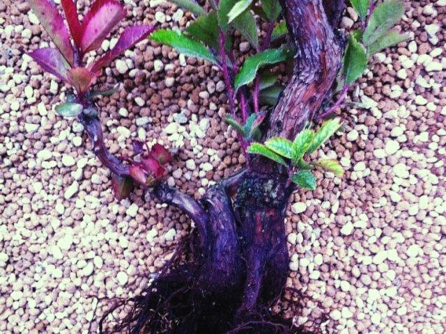 Madroño. Arbutus unedo comprado en vivero para entrenar como bonsai.