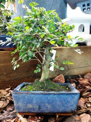 Bonsai olmo comercial. también llamado Olmo Chino y en ocasiones erróneamente Zelkova Parvifolia