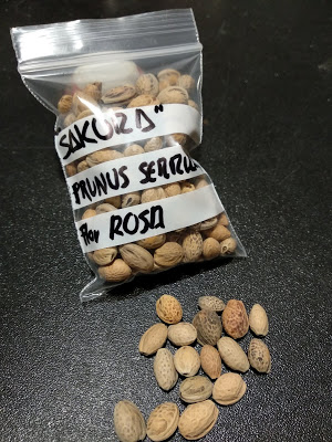 Semillas de Prunus Serrulata. Sakura japonesa