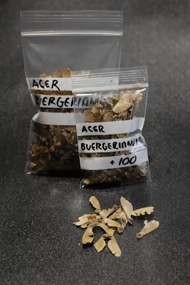 """Semillas de Acer Buergerianum.""""Kaede"""""""