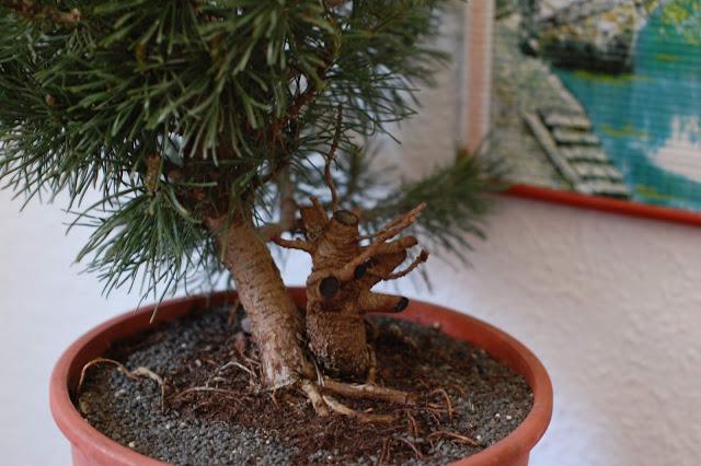 Pino mugo para bonsai