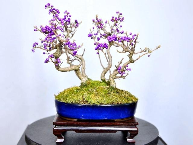Callicarpa japónica. Especie muy apreciada en bonsai por el color de sus pequeños fruto