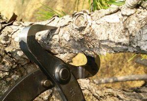 Corte y posicion tenaza astilladora para bonsai en una rama de pino