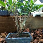 Bonsai comercial de Ficus Retusa
