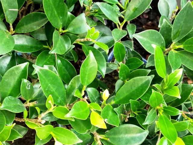Hojas del Ficus Retusa y y nueva brotación.
