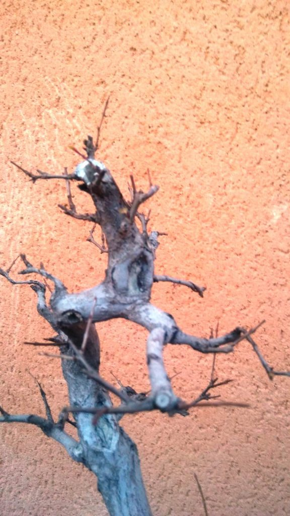 Detalle del ápice. Prebonsai de Granado Nejikan