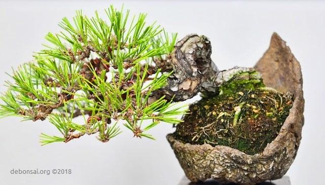 Shohin de Pino negro japonés (pinus thunbergii) en estilo semicascada (Han Kengai). Plantado en kurama japonesa.
