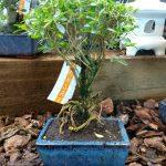 Serissa-bonsai
