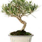 olivo-ficha-bonsai
