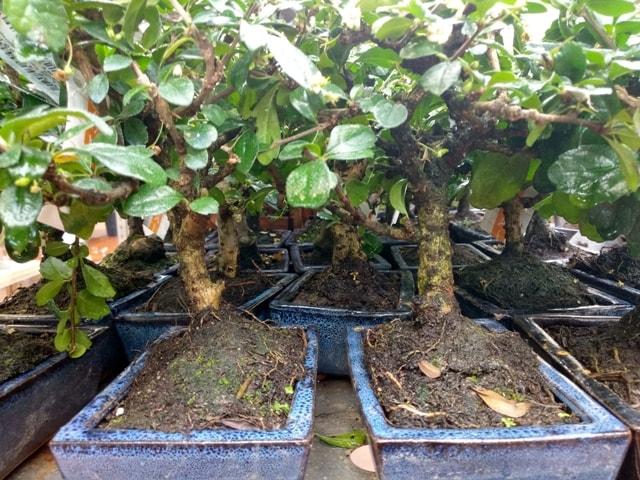 Sustrato-en-mal-estado-de-bonsai-comercial.
