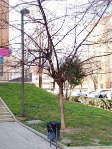 Quercus Robur en la ciudad.