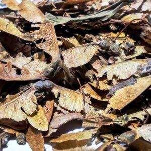 Semillas de Acer Buergerianum. Especia muy adecuada por su resistencia, colores y rápido crecimiento