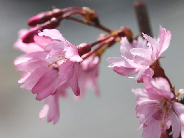 Flor de sakura. Prunus Serrulata