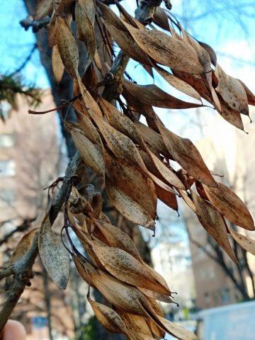Semillas de fresno. Especie muy adecuada para bonsai por su rápido crecimiento y facilidad de cultivo.