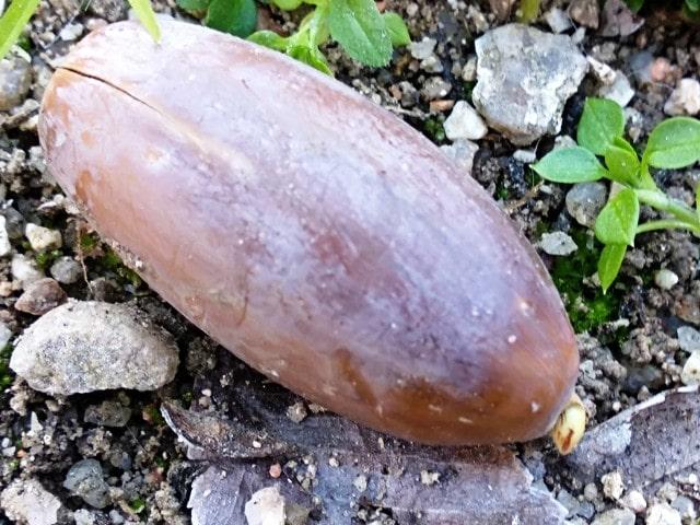 Germen de la raiz de la bellota saliendo. Se ha estratificado de forma natural y es el momento idoneo para recolectarlas y plantar directamente es una maceta de cultivo.