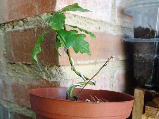 Plantón de solo un año de roble quercus robur, para futuro bonsai desde semilla.