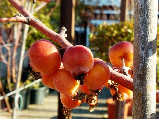 germinar semillas de manzano