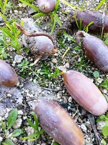 Bellotas. Semillas de quercus robur recogidas en un Jardin público de Móstoles.