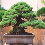 Pino parviflora bonsai
