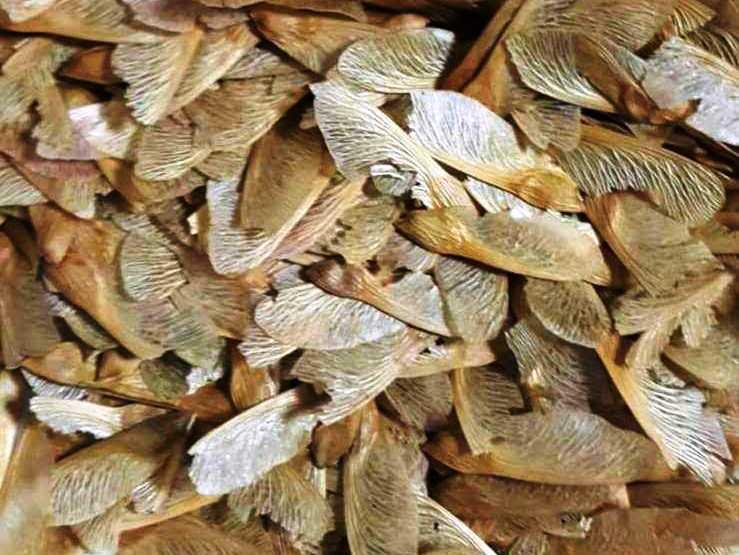 Semillas de Acer palmatum  o arce de cinco puntas japonés. Es una especie muy apreciada en bonsai, resistente y de rápido crecimiento