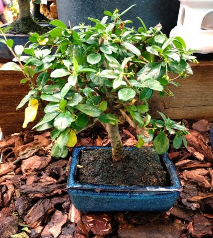 carmona bonsai