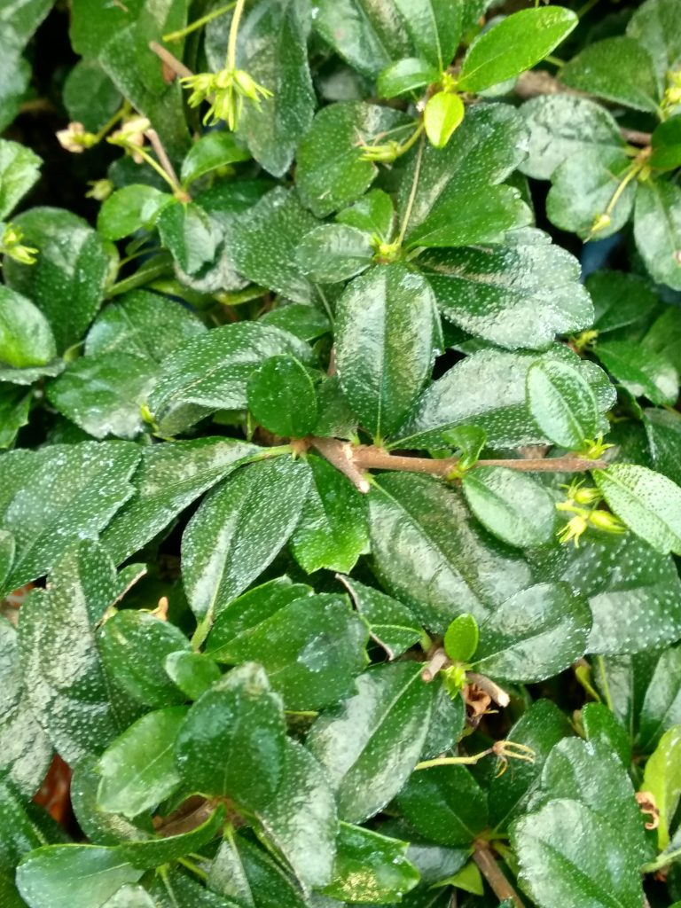 carmona bonsai cuidados