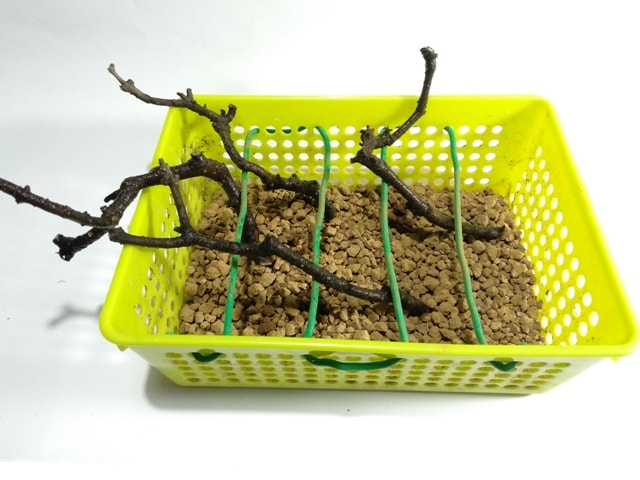 esquejes bonsai
