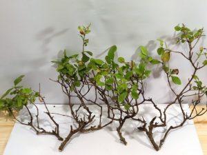 esquejes bonsai ligustrum