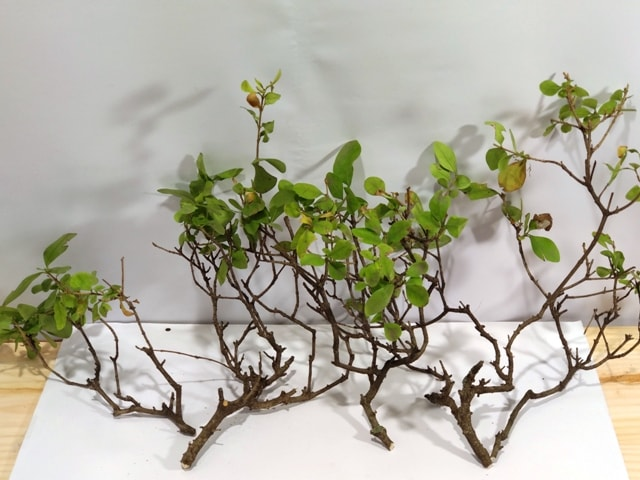 esquejes bonsai ligustrum