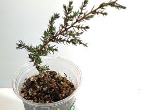 esqueje de un junipero para bonsai