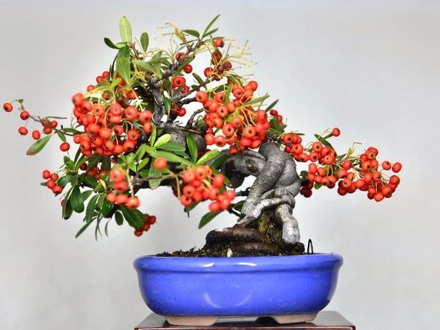 Bonsai abono