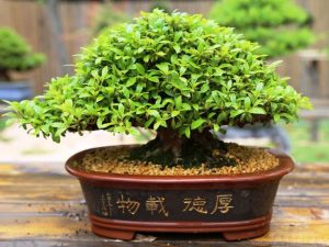 azalea shohin en maceta bonsai