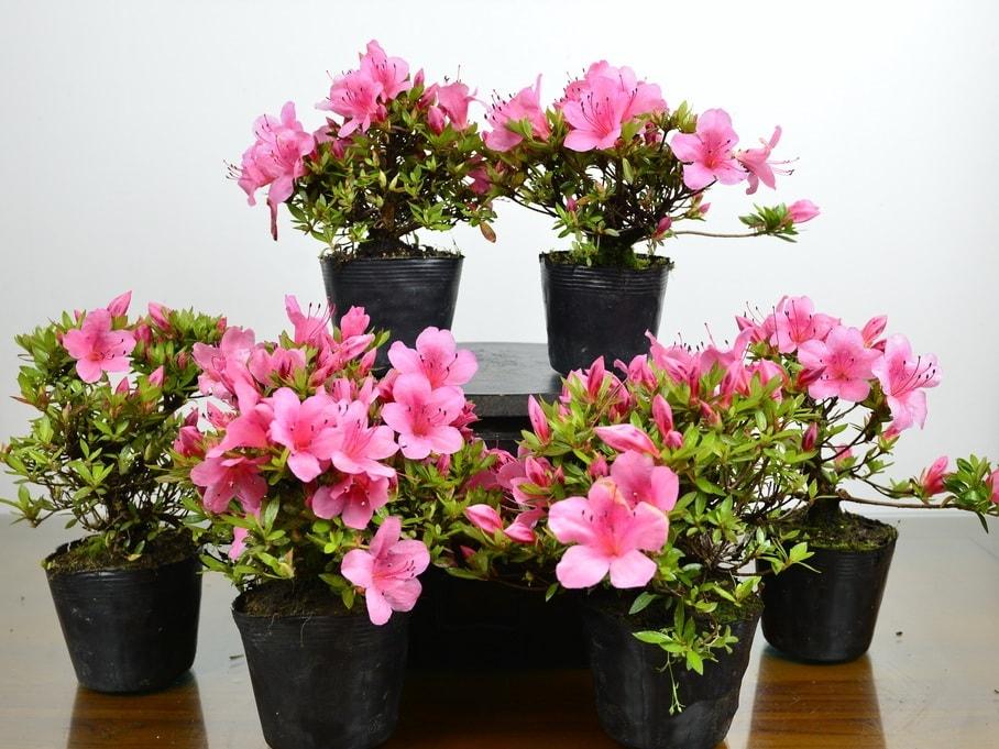 azalea vivero bonsai