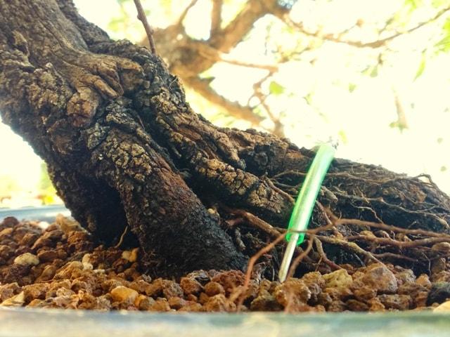 prunus bonsai trasplante