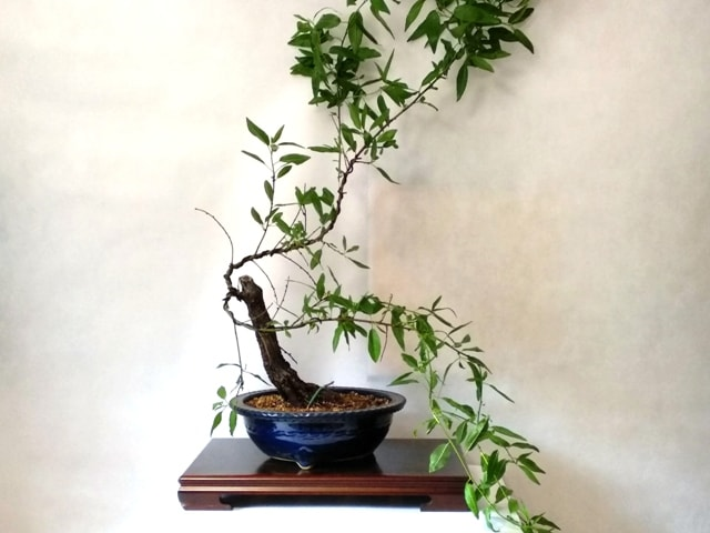 prunus bonsai almendro