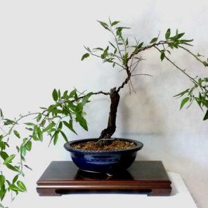almendro bonsai