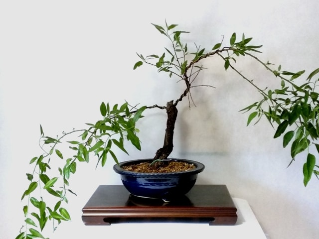 almendro bonsai