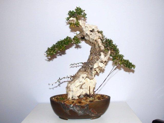Cuidados Del Bonsai De Olivo Ǜ†æ½ El Taller De Bonsai