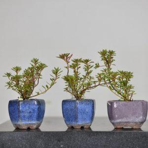 planton azalea