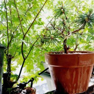 pinus silvestris prebonsai