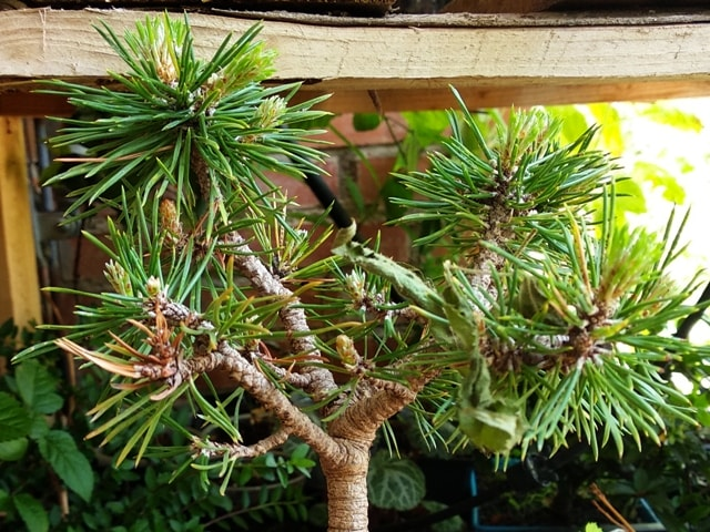 trasplante pino silvestre bonsai