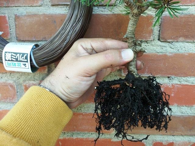 recortar raíces bonsai