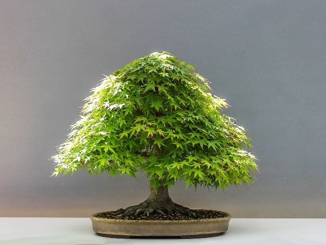 Maceta ovalada bonsai esmaltada