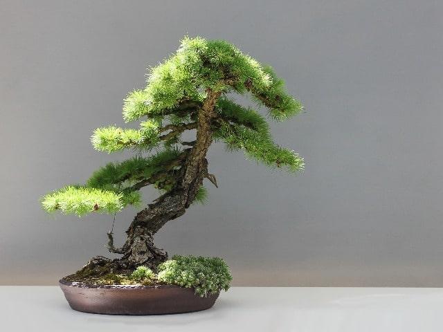 bonsai inclinado